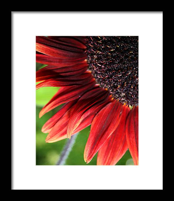 Red Framed Print featuring the photograph Sunflower by Carol Hicks
