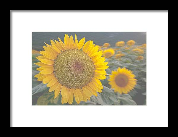 Sunflower Framed Print featuring the photograph Sunflower closeup on field during sunset by Michael Goyberg