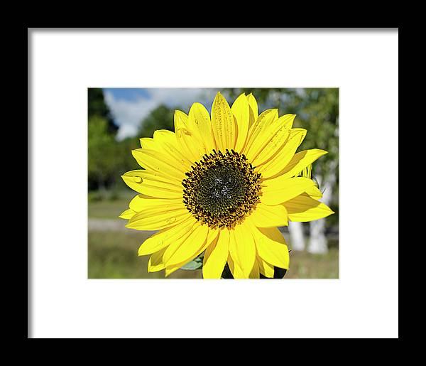 Sunflower Framed Print featuring the photograph Sunflower Dew by Dan Jordan