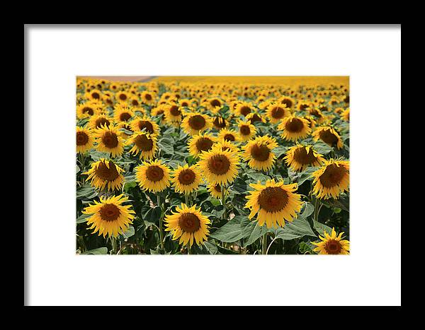 Sunflowers Framed Print featuring the photograph Sunflower Field France by Pauline Cutler
