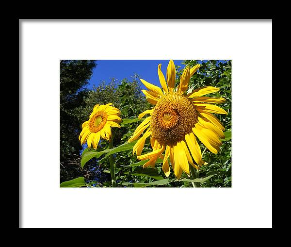 Sunflowers Framed Print featuring the photograph Sunflower Garden by Gail Salitui