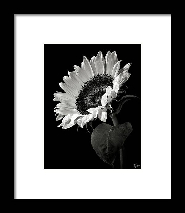 Flower Framed Print featuring the photograph Sunflower In Black And White by Endre Balogh
