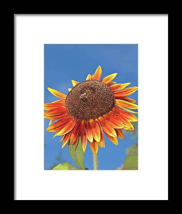 Beautiful Framed Print featuring the photograph Sunflower by Jim DeLillo