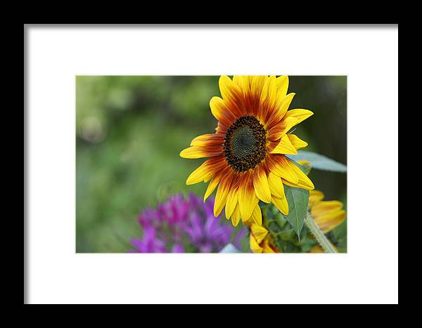 Sunflower Framed Print featuring the photograph Sunflower by JoJo Photography