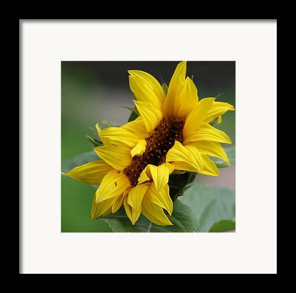 Sunflower Framed Print featuring the photograph Sunflower by Liz Vernand
