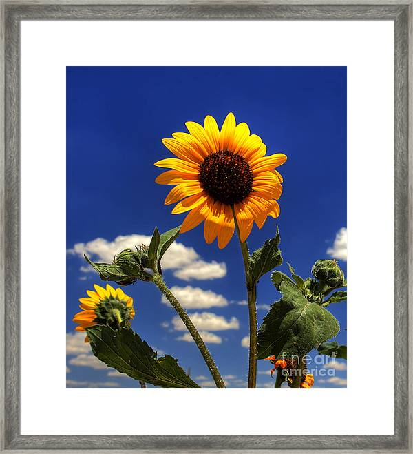 Sunflower Framed Print By Pete Hellmann