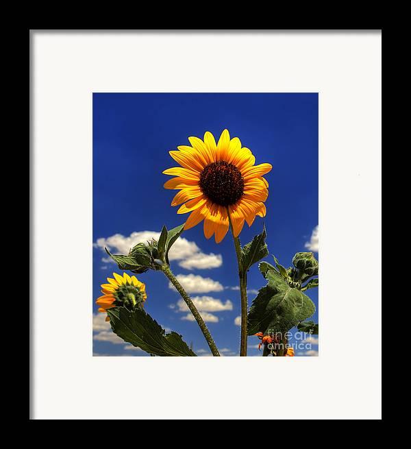 Landscape Framed Print featuring the photograph Sunflower by Pete Hellmann