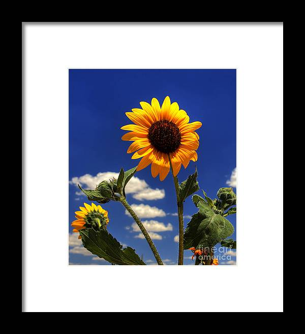 Landscape Framed Print featuring the photograph Sunflower by Pete Hellmann