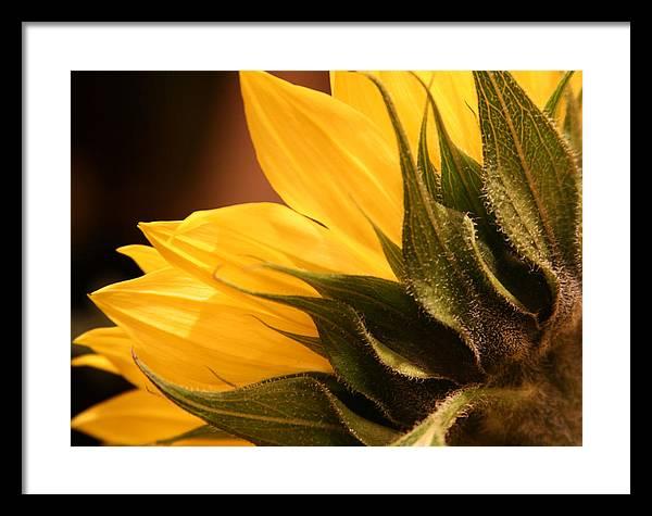 Sunflower Framed Print featuring the photograph Sunflower by Sally Engdahl