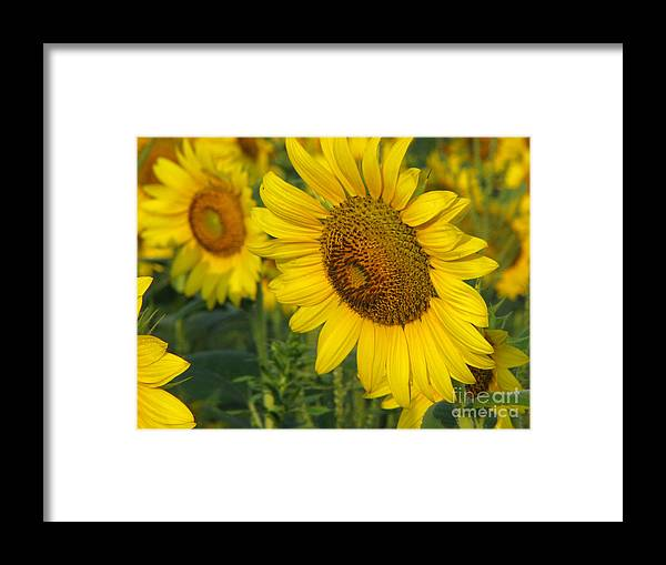 Sunflowers Framed Print featuring the photograph Sunflower Series by Amanda Barcon