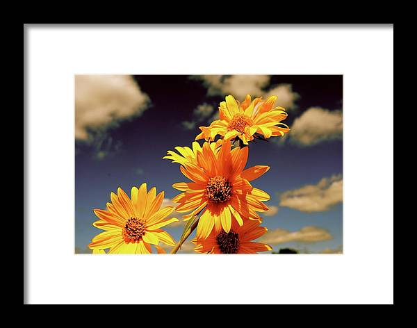Sunflowers Framed Print featuring the photograph Sunflower Skies by Taylor McClish