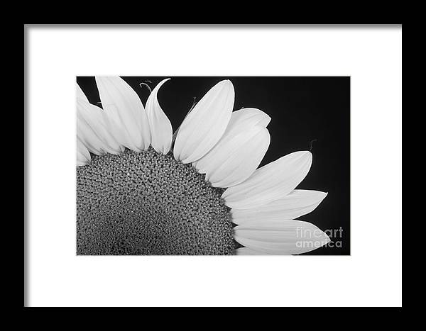 Sunflowers Framed Print featuring the photograph Sunflower Three Quarter by James BO Insogna
