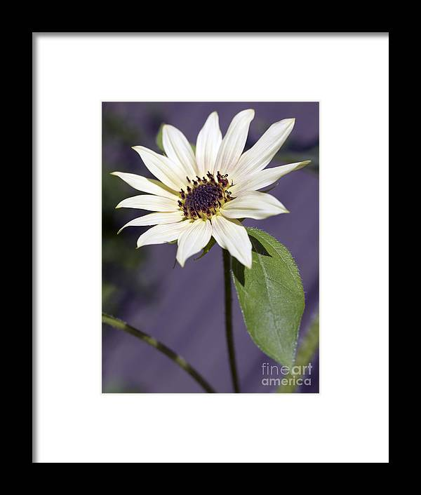 Helianthus Annus Framed Print featuring the photograph Sunflower by Tony Cordoza