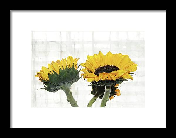 Yellow Sunflowers Framed Print featuring the photograph Sunflower Trio by Margie Avellino