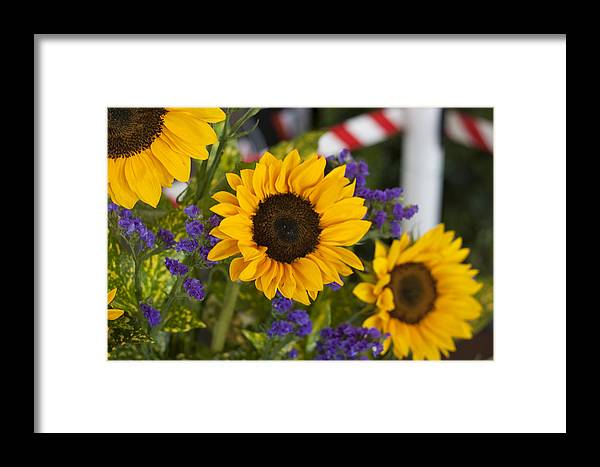 Sunflower Framed Print featuring the photograph Sunflower Triplets by Kevin Sherf