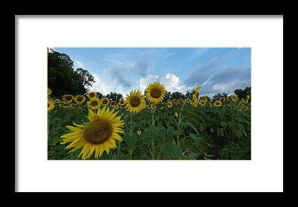 Sunflower Framed Print featuring the photograph Sunflowers by Jay Anne Boza