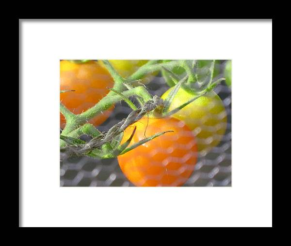 Flowers Framed Print featuring the photograph Sungold Tomatoes by Barbara Milhender