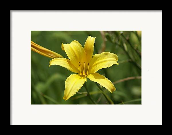 Flowers Framed Print featuring the painting Sunkissed by Debbie May