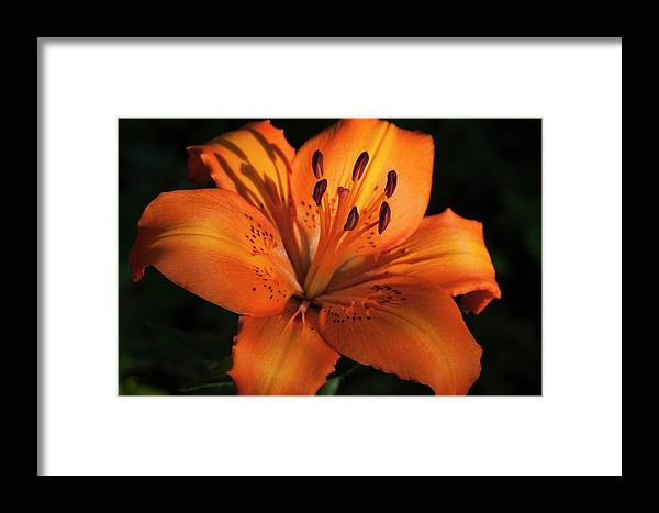 Flower Framed Print featuring the photograph Sunkissed Lily by Richard Thomas