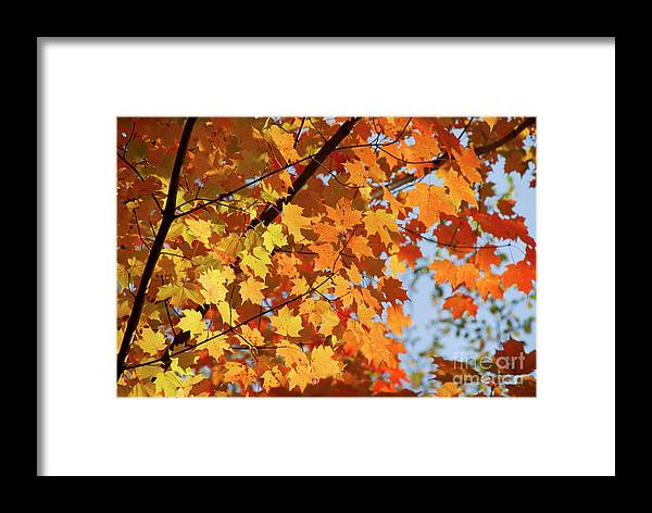 Fall Framed Print featuring the photograph Sunlight In Maple Tree by Elena Elisseeva
