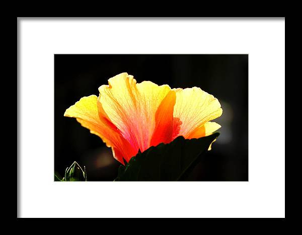 Floral Framed Print featuring the photograph Sunlit Hibiscus by Diane Merkle