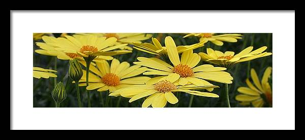 Flora Framed Print featuring the photograph Sunning Daisies by Bruce Bley