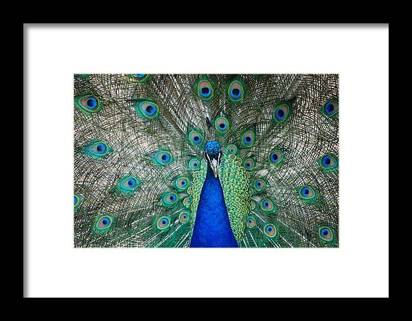 Peacock Framed Print featuring the photograph Sunning by Jame Hayes