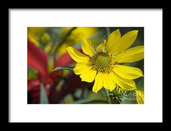 Yellow Framed Print featuring the photograph Sunny Blooms by Jeannie Burleson