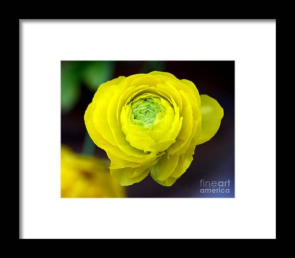 Yellow Framed Print featuring the photograph Sunny Ranunculus by Valerie Fuqua