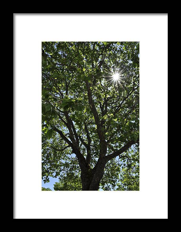 Tree Framed Print featuring the photograph Suntree by Chris Lindsey