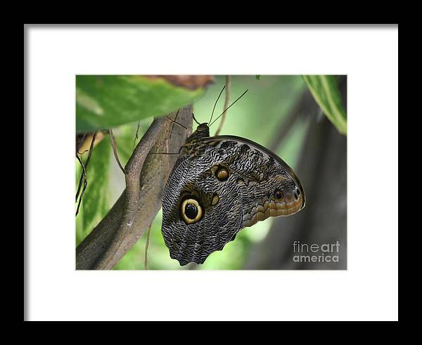 Blue-morpho Framed Print featuring the photograph Superb Markings On An Owl Butterfly In A Garden by DejaVu Designs