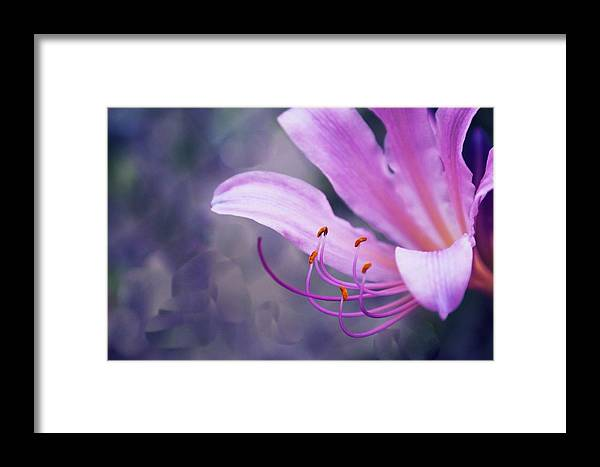 Flower Framed Print featuring the photograph Suprise Lily Glimmer by Jim Darnall