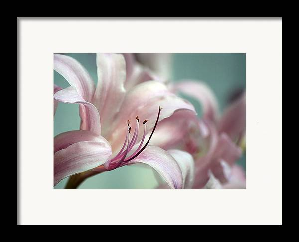 Flower Framed Print featuring the photograph Surprise Lily Pink by Jim Darnall