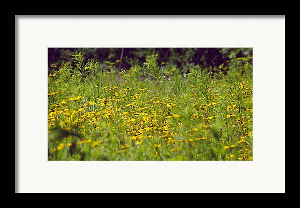 Nature Framed Print featuring the photograph Susans In A Green Field by Randy Oberg