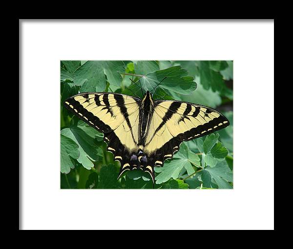 Swallowtail Framed Print featuring the photograph Swallowtail Butterfly by Liz Vernand