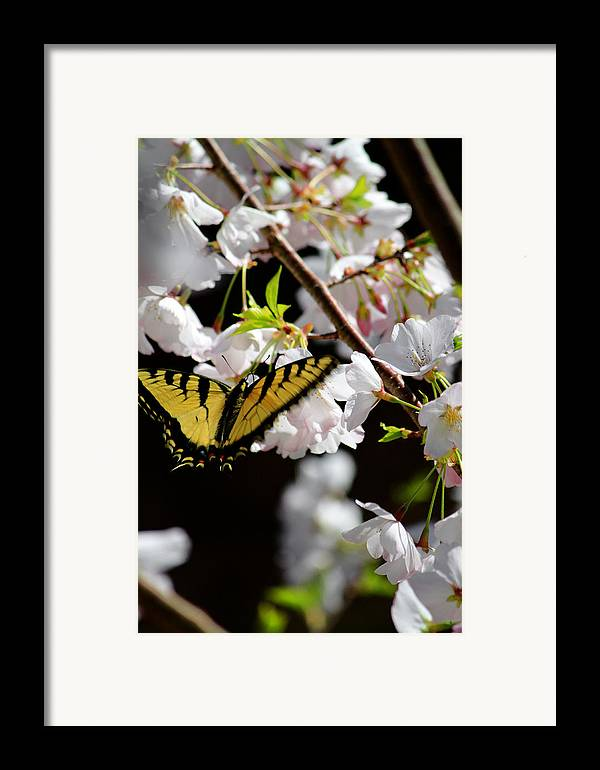 Fine Art Framed Print featuring the photograph Swallowtail by Nathan Grisham