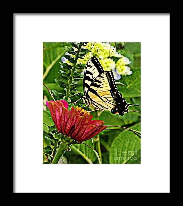 Butterfly Framed Print featuring the photograph Swallowtail On A Zennia by Melody Meadows