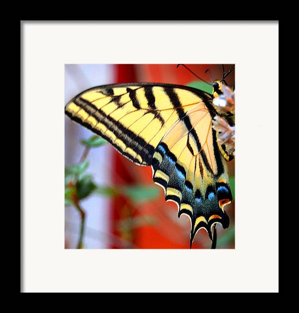 Photography Framed Print featuring the photograph Swallowtail Wing by Heather S Huston