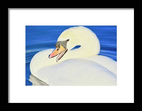 Mute Swan Framed Print featuring the photograph Swan 10 by Melanie Lewis
