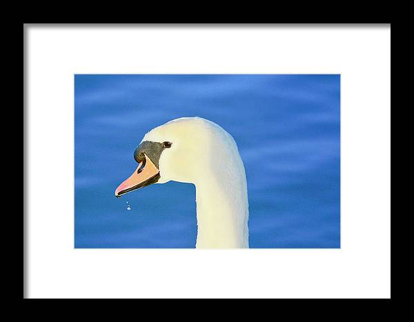 Mute Swan Framed Print featuring the photograph Swan 11 by Melanie Lewis