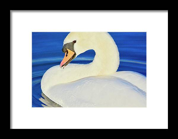 Mute Swan Framed Print featuring the photograph Swan 9 by Melanie Lewis