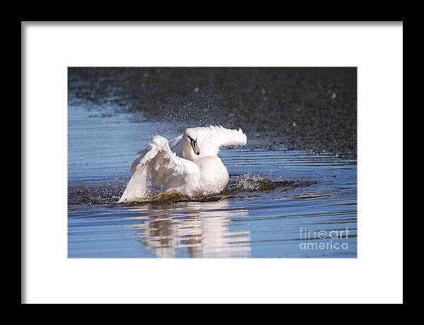 Swan Framed Print featuring the photograph Swan Bath by Doug Thwaites