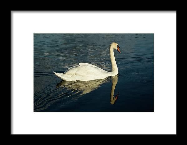 Cygnus Framed Print featuring the photograph Swan Blasting Away by Douglas Barnett