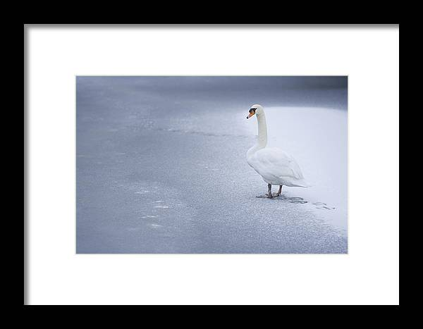 Swan Framed Print featuring the photograph Swan by Dean Bertoncelj