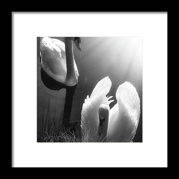 Swan Framed Print featuring the photograph Swan Lake In Winter - Kingsbury Nature by John Edwards