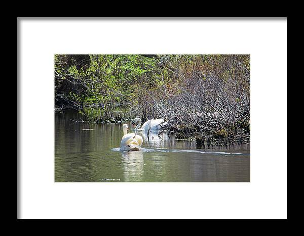 Swans Framed Print featuring the photograph Swan Life by Don Lonergan