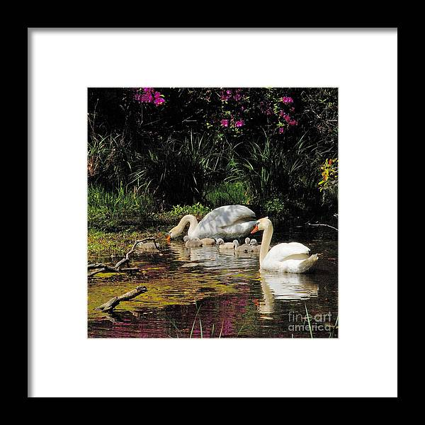 Swans Framed Print featuring the photograph Swans And Signets by Neil Doren