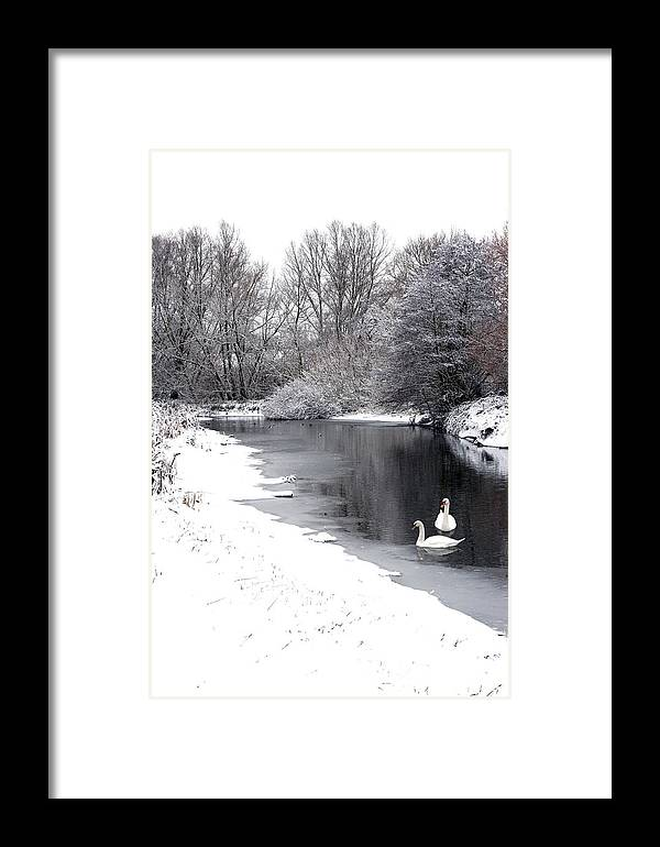Swans Framed Print featuring the photograph Swans In The Snow by Gary Eason