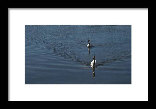 Swans Framed Print featuring the photograph Swans On Blue by Charles Kraus