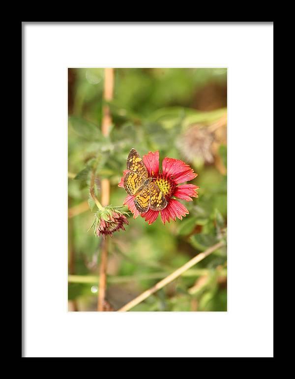 Butterfly Framed Print featuring the photograph sweet Nectar by ShadowWalker RavenEyes Dibler